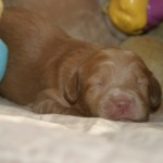 Thanda & Wooki - 1 week old puppies