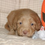 Thanda & Wooki - 3 week old puppies
