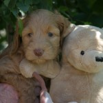 Thanda & Wooki - 5 week old puppies