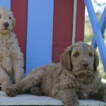 Crystal & Duffy - 10 Week Old Puppies