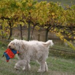 Labradoodle Play Time: Fetch