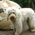 Australian Labradoodle and bean bag bed