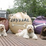Australian labradoodles and beds