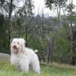 Labradoodles in the park