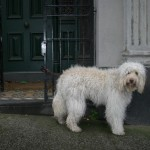 Australian Labradoodle in the City