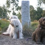 Labradoodles in the Australian Bush
