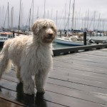 Wet Labradoodle in the rain at Williamstown Pier