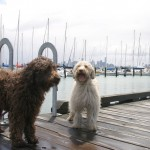 Labradoodles: Williamstown Pier: Yachts in background