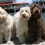 Labradoodles: Beacon Cove waiting for chips from 'Delish'