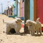 Labradoodles: Time to hit the surf