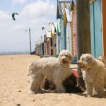 Labradoodles: a lovely day at the beach