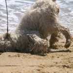 Australian Labradoodles love rolling in the sand