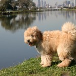 Australian Labradoodle and the Water