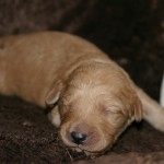 Molly Bloom & Wally - 12 day old puppies