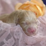 Bridie O'Reilly & Parker -  newborn puppy