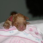 Puppy 1 Caramel Female Fluorescent Pink Collar