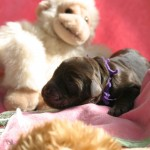 Dainty & Duffy - newborn puppies