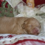Bridie O'Reilly & Parker - 1 week old puppy