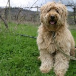 wally-in-the-vineyard-2